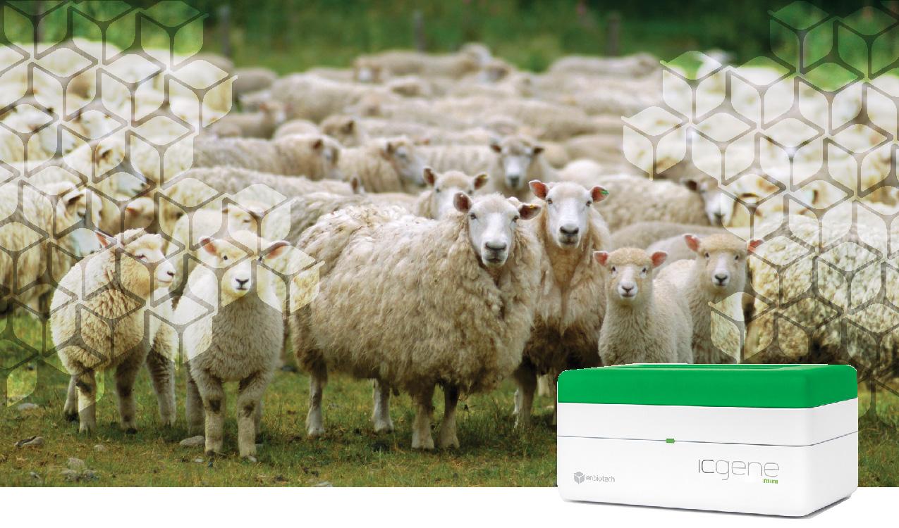 identimeat sheep